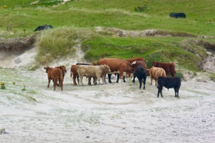 Vatersay cattle