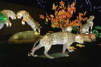 Tigers and leopards