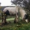 Abernethy Glen horse