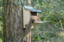 Red squirrel hide