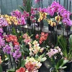 Glasgow Orchid Fair