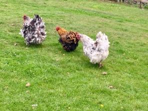 Speedy hens