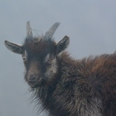 Mull of Oa feral goats