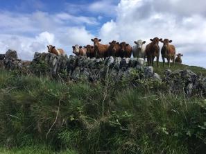 Islay cows