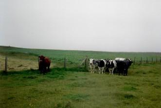Islay cows 1989