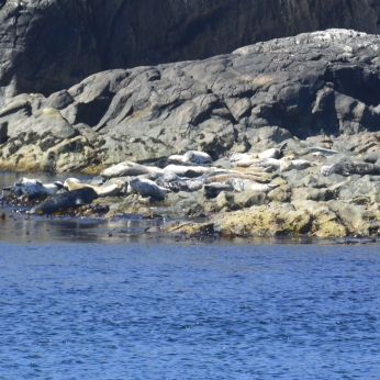 Seals on Orsay from Port Wemyss Coastal Path