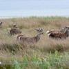Red deer onJura