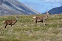 Red deer on Jura