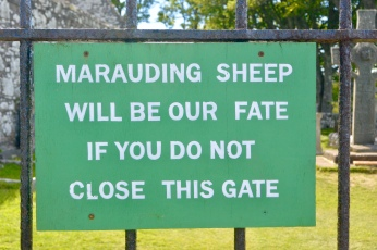 Marauding sheep!