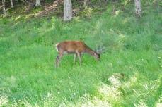 Deer at Applecross