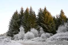 Frosty Forest near Aberfoyle
