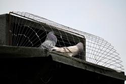 Pigeon loft, Drumchapel