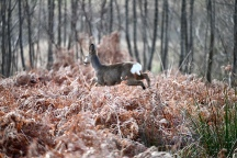 Deer in Garscadden Wood
