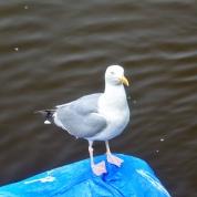 Eyemouth gull