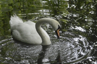Duns Castle swan