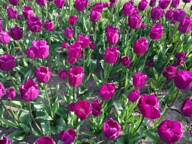 Botanic Gardens tulips