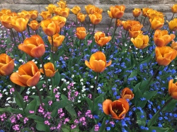 University tulips