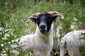 Dunkeld sheep
