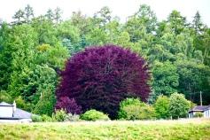 Dunkeld tree