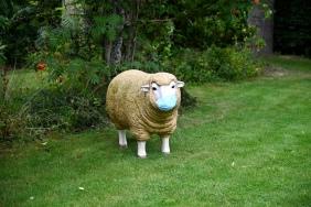 Masked sheep