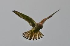 Cellardyke birdlife