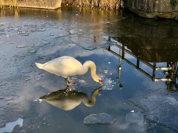 Swan on frozen canal