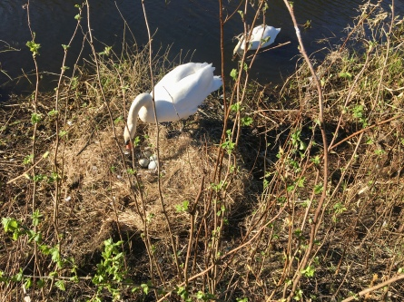 Swans on Forth and Clyde Canal