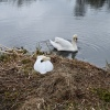 Swans on Forth and ClydeCanal