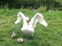 Ruchill swans