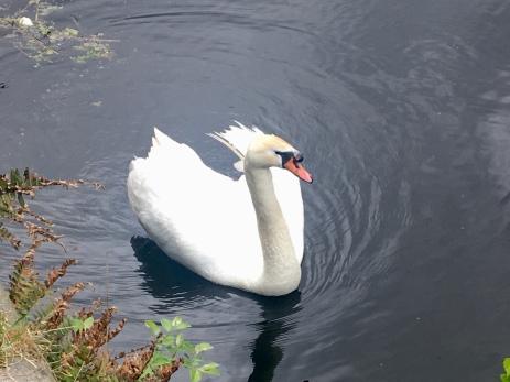 Firhill swan