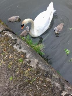 Maryhill swans