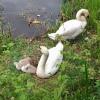 Lochburn swans