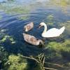Firhill swans