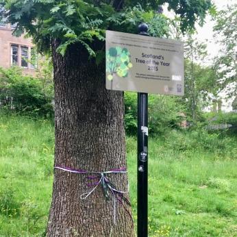 Suffrage Oak