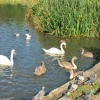 Bingham's Pond swans